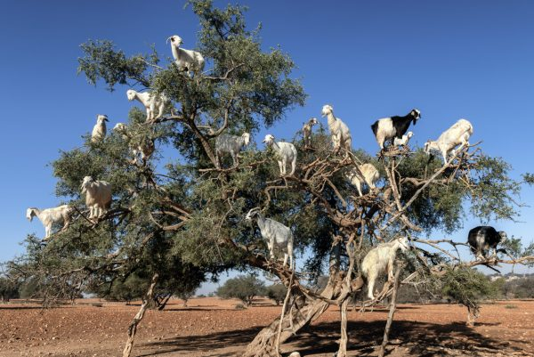 White Goats in an Argan tree in Morocco