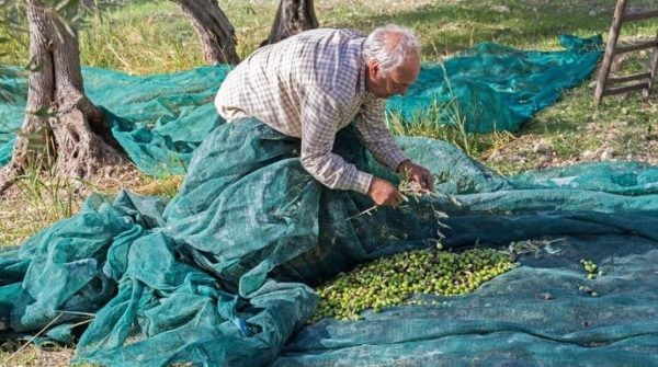 Olive harvest in Sicily Italy. Old farmer with olive net and ladder
